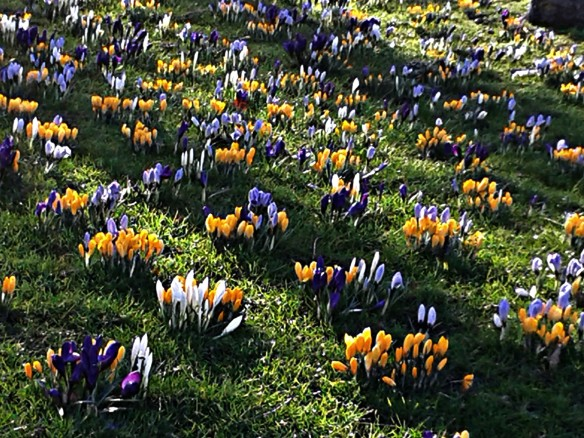 Crocuses in the Meadows